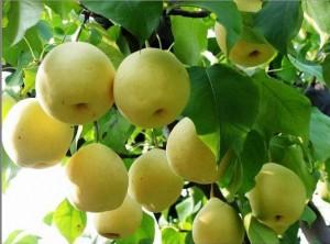 秋季吃哪种梨最养生